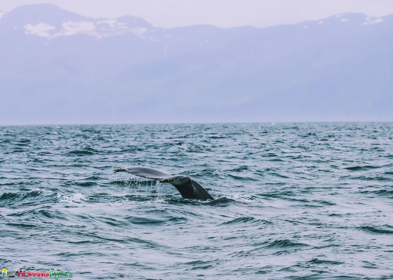 Husavik Whale watching with North Sailing
