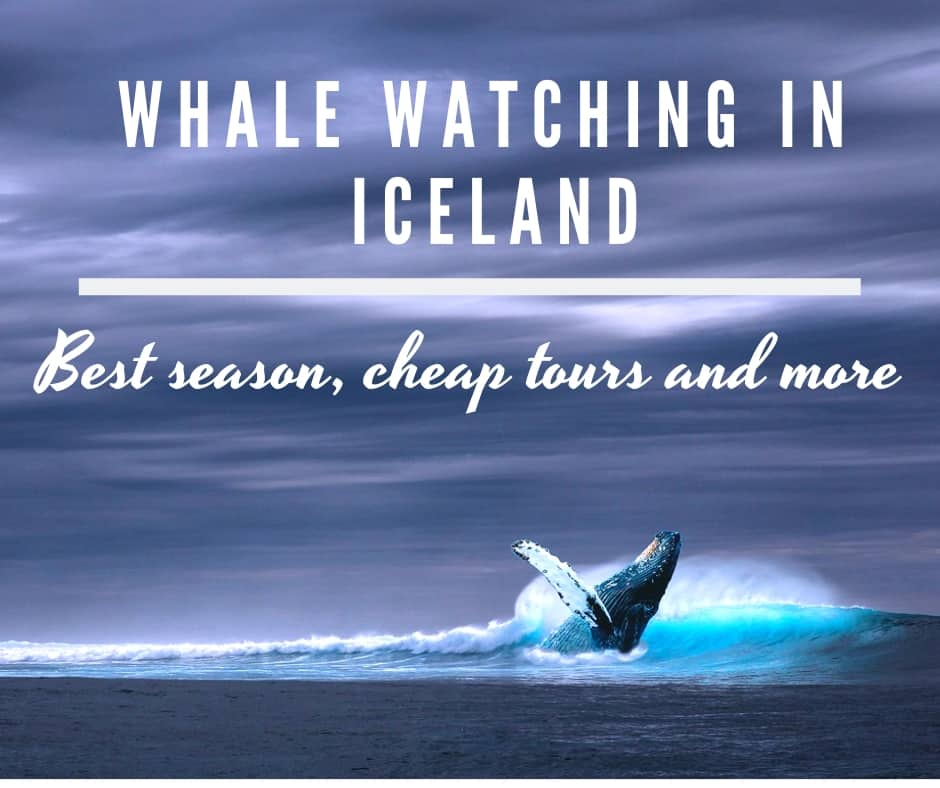 Best whale watching in Iceland – Season, cheap tours, everything you need to know!